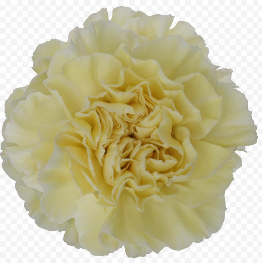Green - Carnation Cut Flowers Yellow Color - Mother 's Day Carnations Free PNG