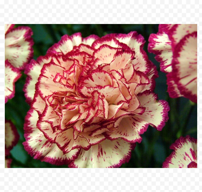 Rainbow Rose - Growing Carnations Flower Mexican Marigold Seed - Carnation Free PNG