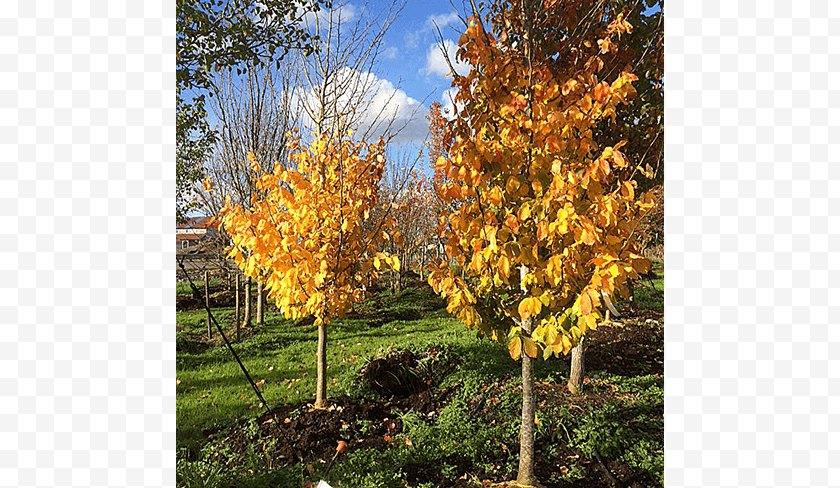 Plant - Sugar Maple Tree Acer Nigrum Autumn Shrub - Deciduous Specimens Free PNG