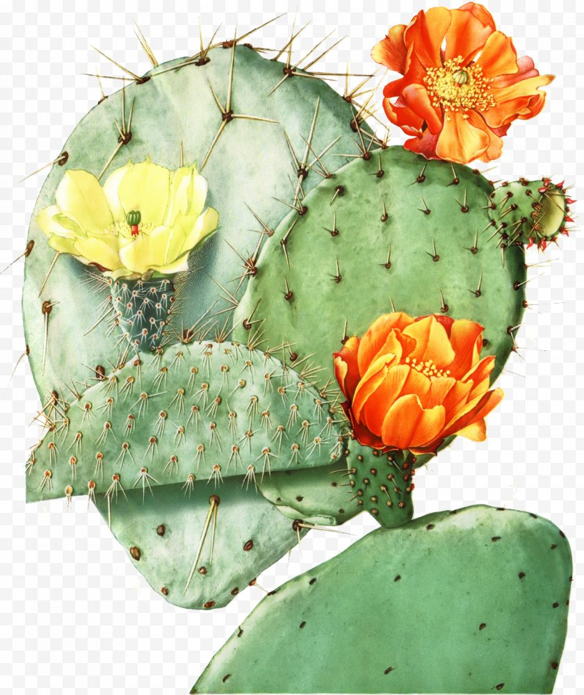 Perennial Plant - Bunny Ears Background - Cactus - Fruit Free PNG