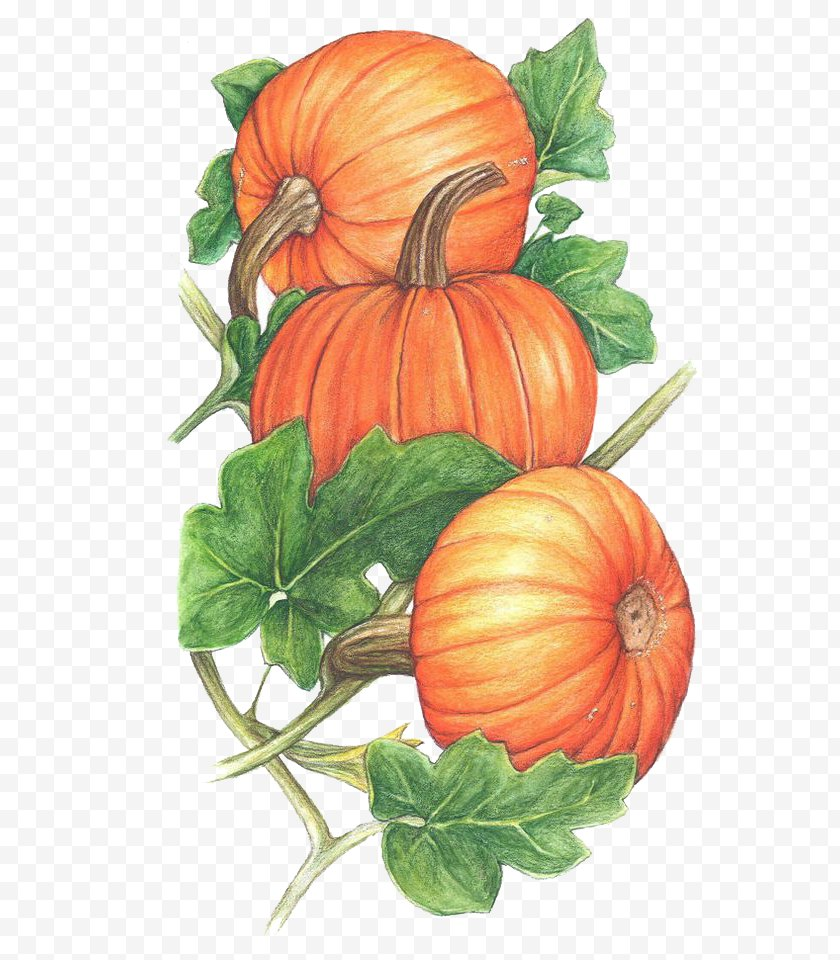 Vegetable - Pumpkin Cucurbita Vine Clip Art Free PNG