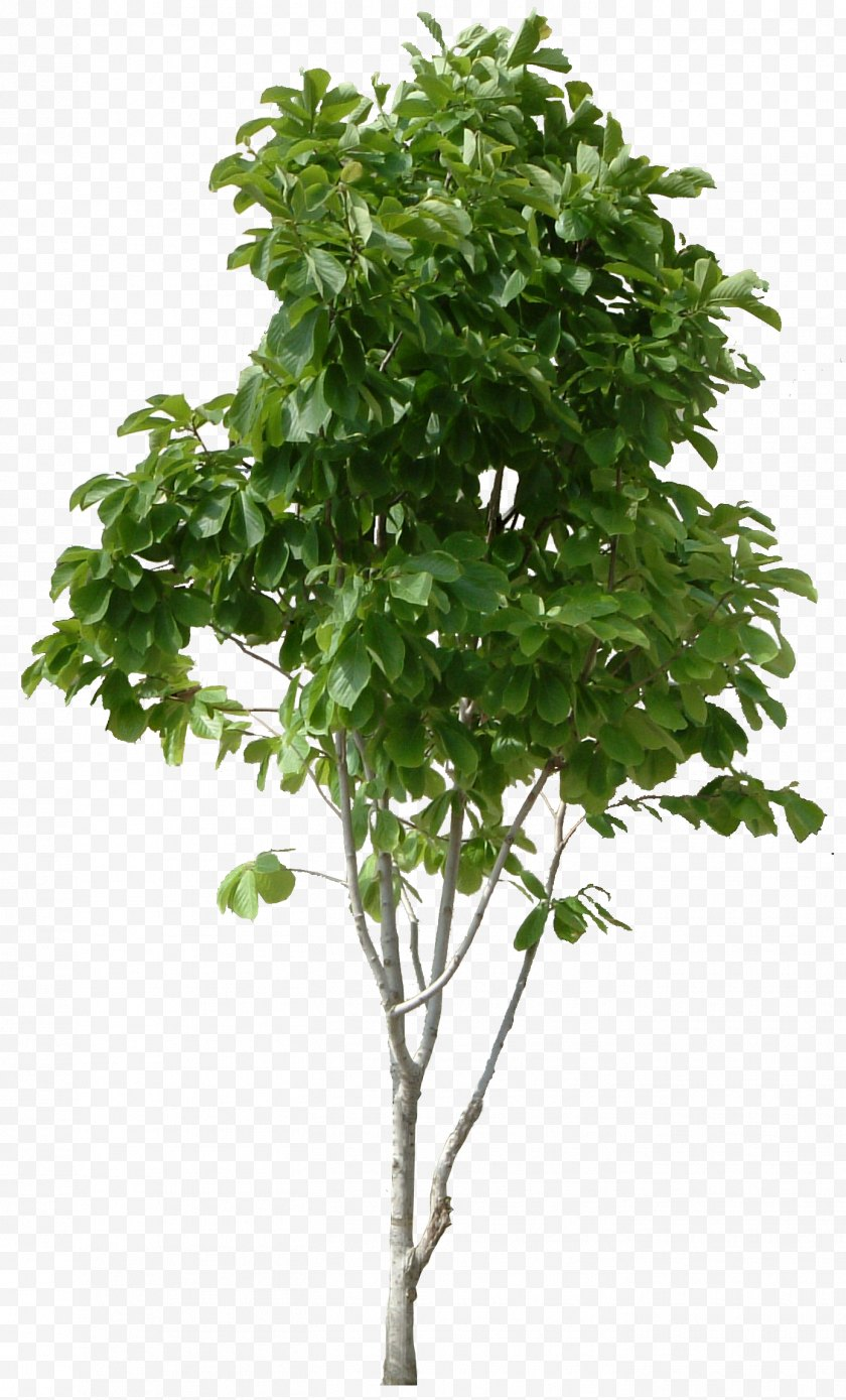 Tree - Clip Art - Branch - Top View Free PNG