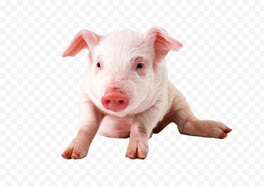 Animal - Vietnamese Pot-bellied Miniature Pig Clip Art - Snout - Tare Free PNG