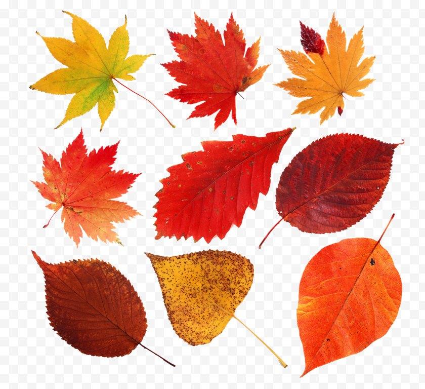 Autumn Leaves - Maple Leaf Clip Art - Digital Image Free PNG