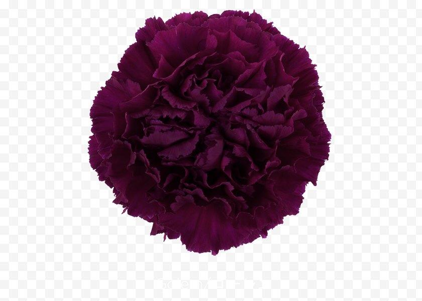 Violet - Growing Carnations Cut Flowers Pink - Rose - CARNATION Free PNG